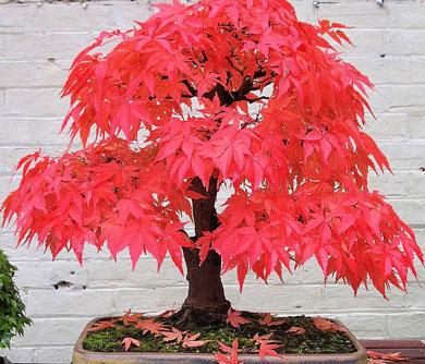 Red Maple Bonsai Tree Kit