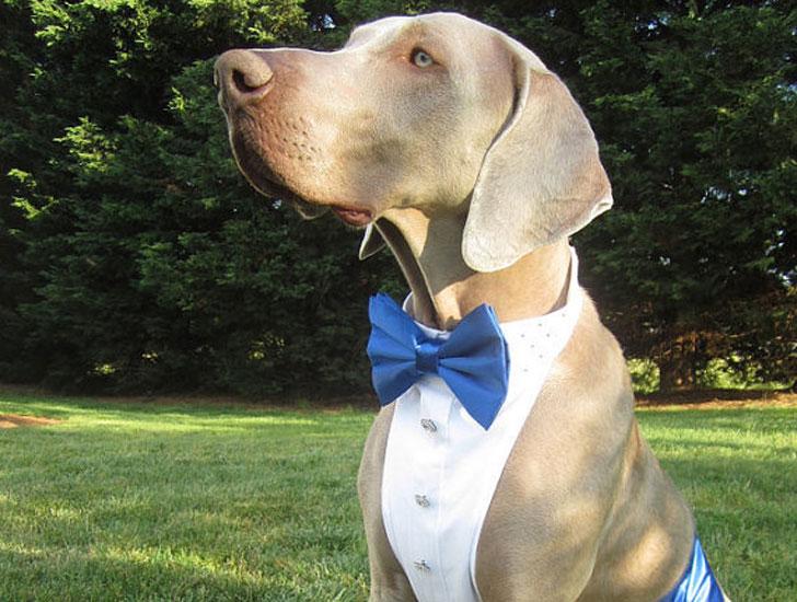 Dog Tuxedo Formal Attire