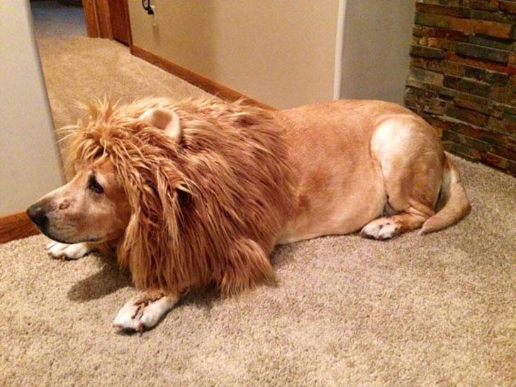 The Lion Mane Dog Costume