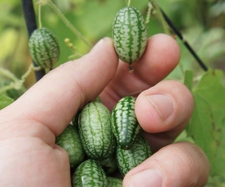 Cucamelons: Mini Watermelon Cucumbers