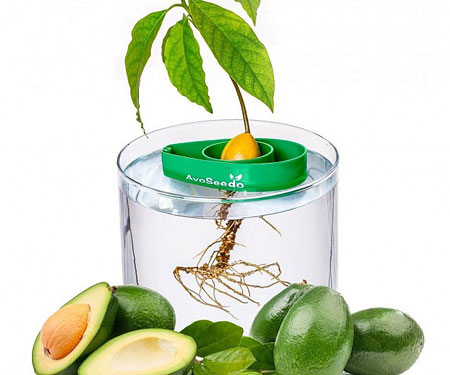 Avocado Tree Starter kit