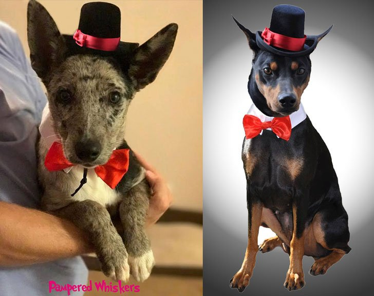 Top Hat Wedding Hat For Dogs - Hats For Dogs