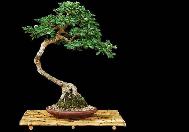 Bonsai Seed Collection