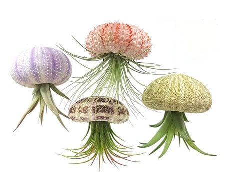 Sea Urchin Air Plants