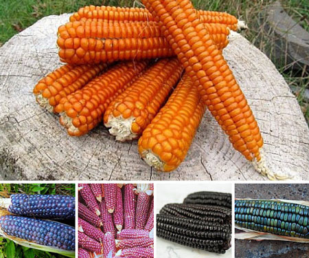 Rainbow Corn Collection