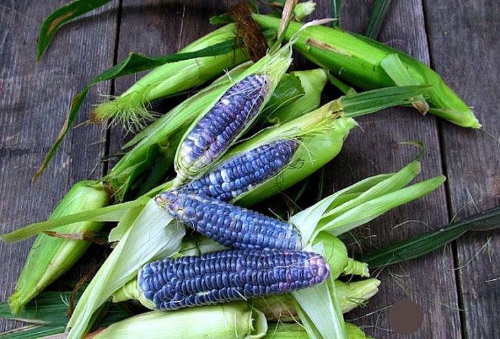 Baby Blue Jade Corn