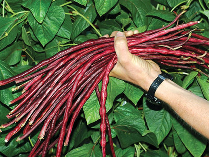 Red Noodle Yard Long Beans