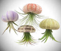 Sea Urchin Jellyfish Air Plants