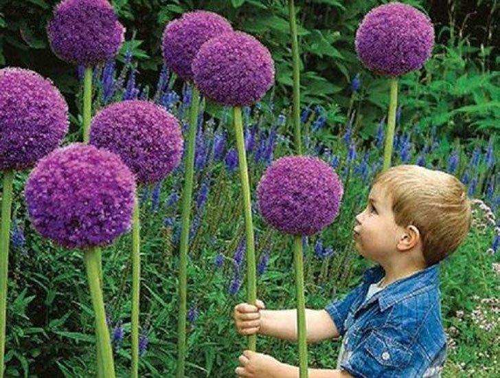Giant Allium Giganteum Flower Seeds