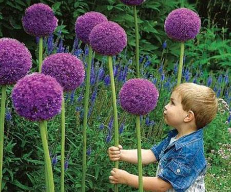 Giant Allium Giganteum Flower Seeds