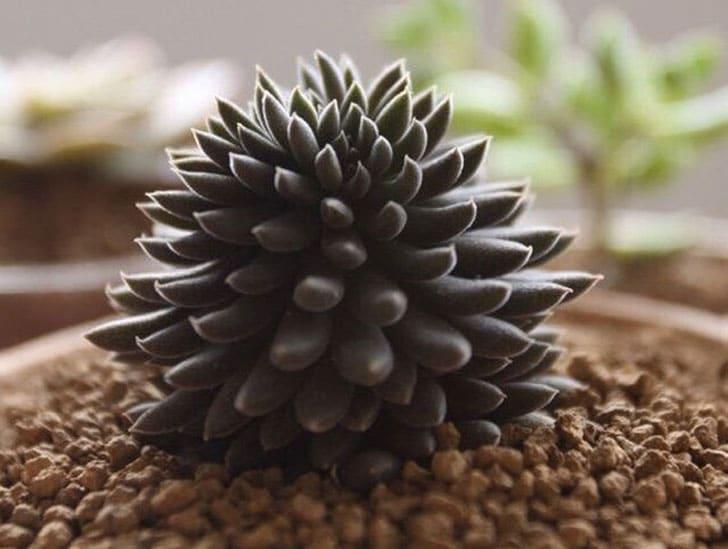 Rare Weird Succulent Seeds