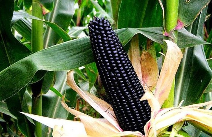 Aztec Black Corn