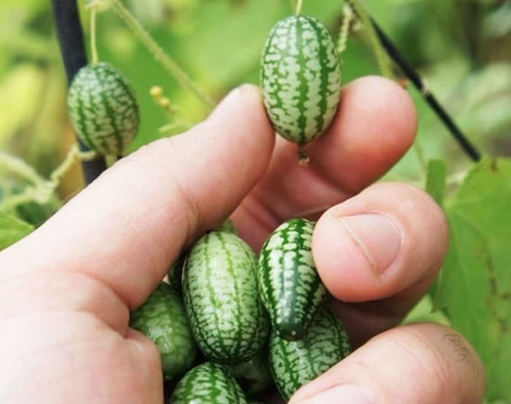 Mini Watermelon Cucumbers