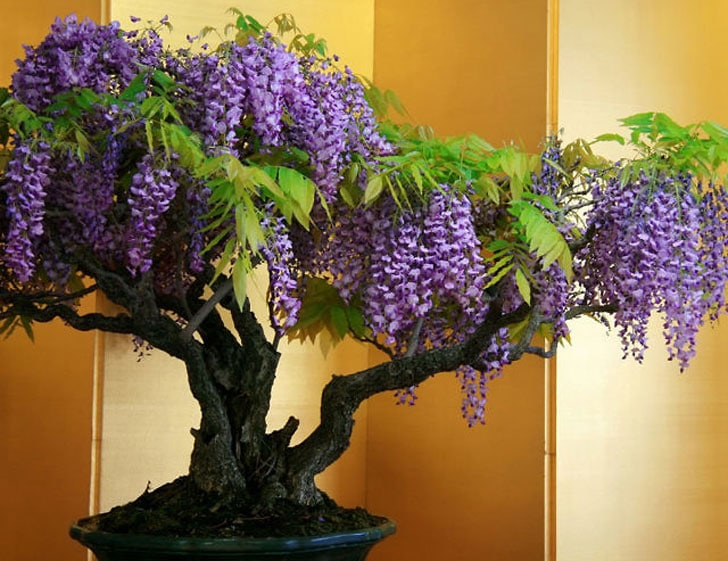 Wisteria Bonsai Tree Kit