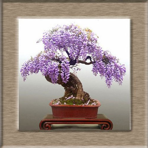 Wisteria Bonsai Tree Kit Awesome Stuff 365