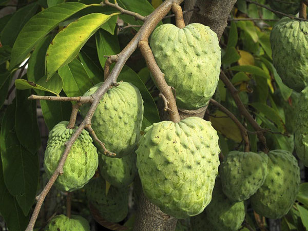 Cherimoya / Custard Apple
