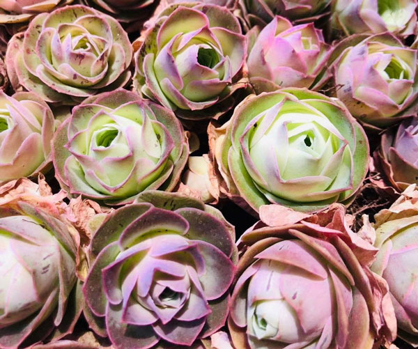 Rose Succulents