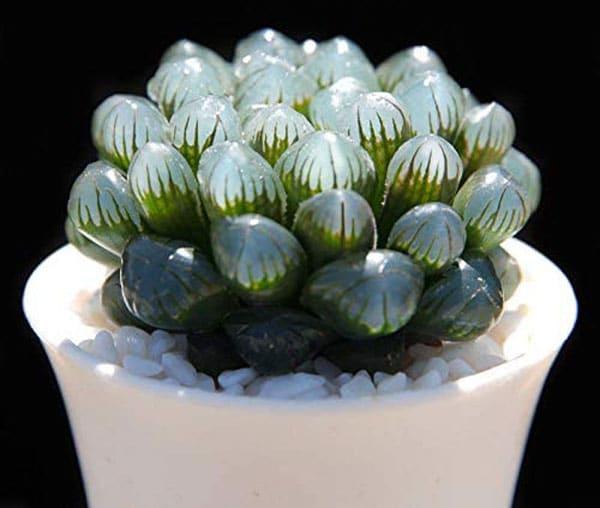 Alien Eggs Succulent - Haworthia Cooperi - Cool Succulents