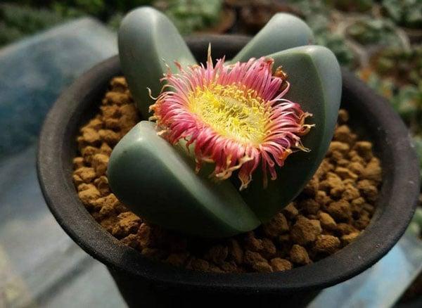 Argyroderma Delaetii, Living Stone - Rare Succulent