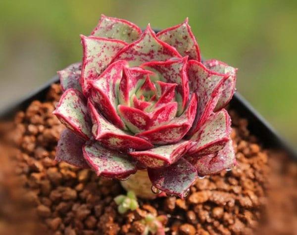 Echeveria Longissima - Cool Succulents