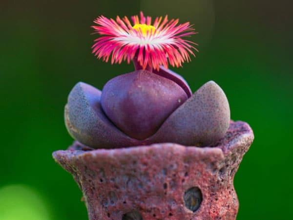 Pleiospilos Nelii - Royal Flush ( Split Rock ) - Cool Succulents