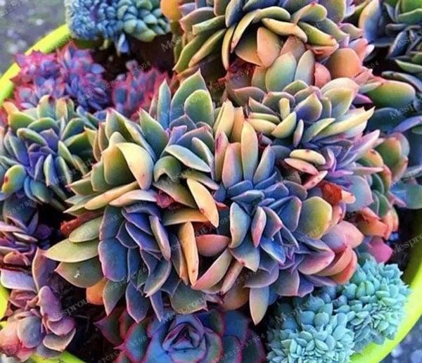 Rainbow Echeveria Succulent Seeds