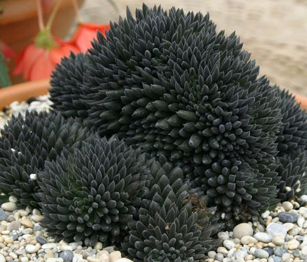Sinocrassula Yunnanensis - Very Rare Black Succulent