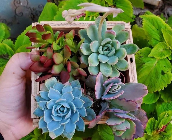 Succulent Gift Box with live Succulents included