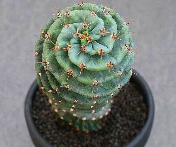 Tornado Cactus Succulent