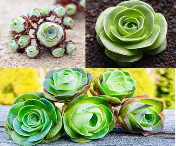 Rose Succulents - Greenovia Dodrentalis - Cool Succulents