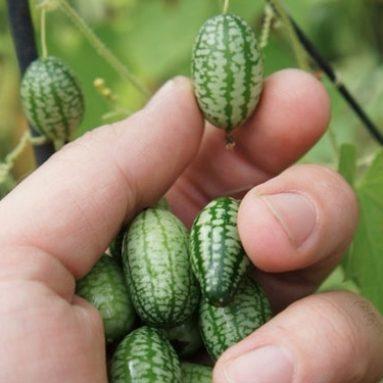 Cucamelons: Mini Watermelon Cucumbers