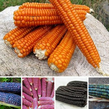 Rainbow Corn Collection